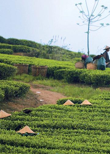 Religion, légendes autour des saisons... et thé