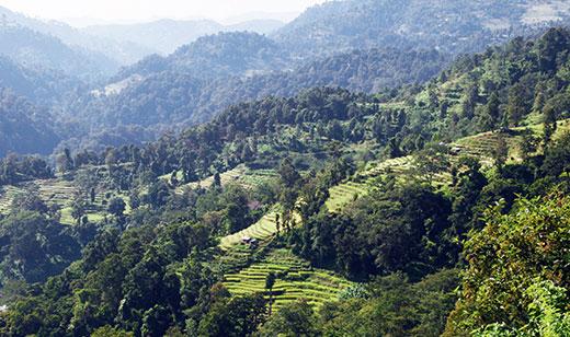 Le renouveau du thé au Népal