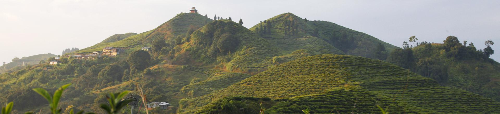 Thés du Népal'