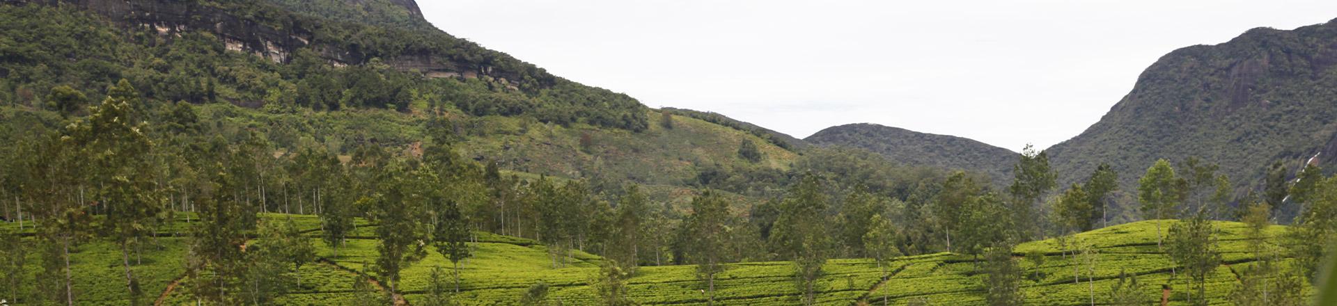 Thés du Sri Lanka'