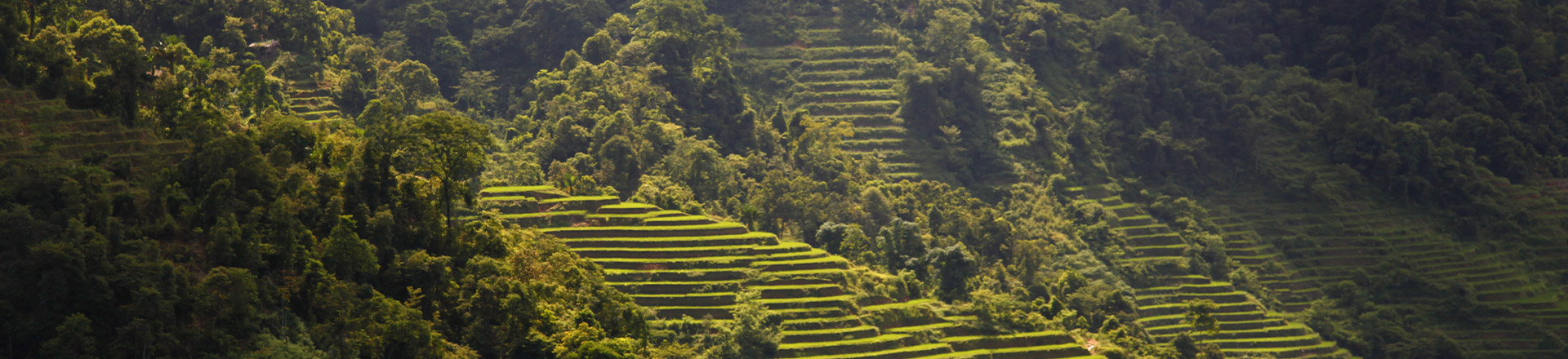Thés du Viêtnam'