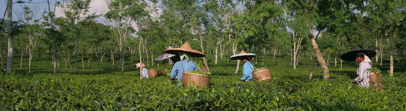 The tea plantation - Palais des Thés